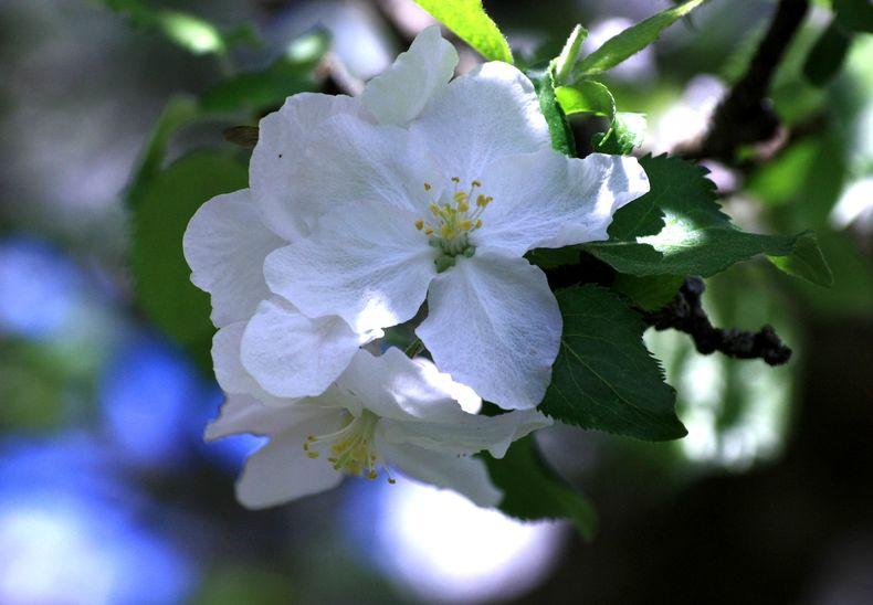 Apfelbluete Berner Platte 2.0